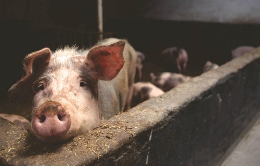 Animal Farming: Planet's Doom, Humanity's Shame